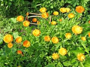 calendula in high tunnel 8.6.15