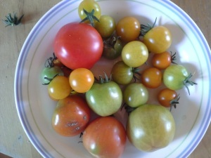 tomatoes 7.2015
